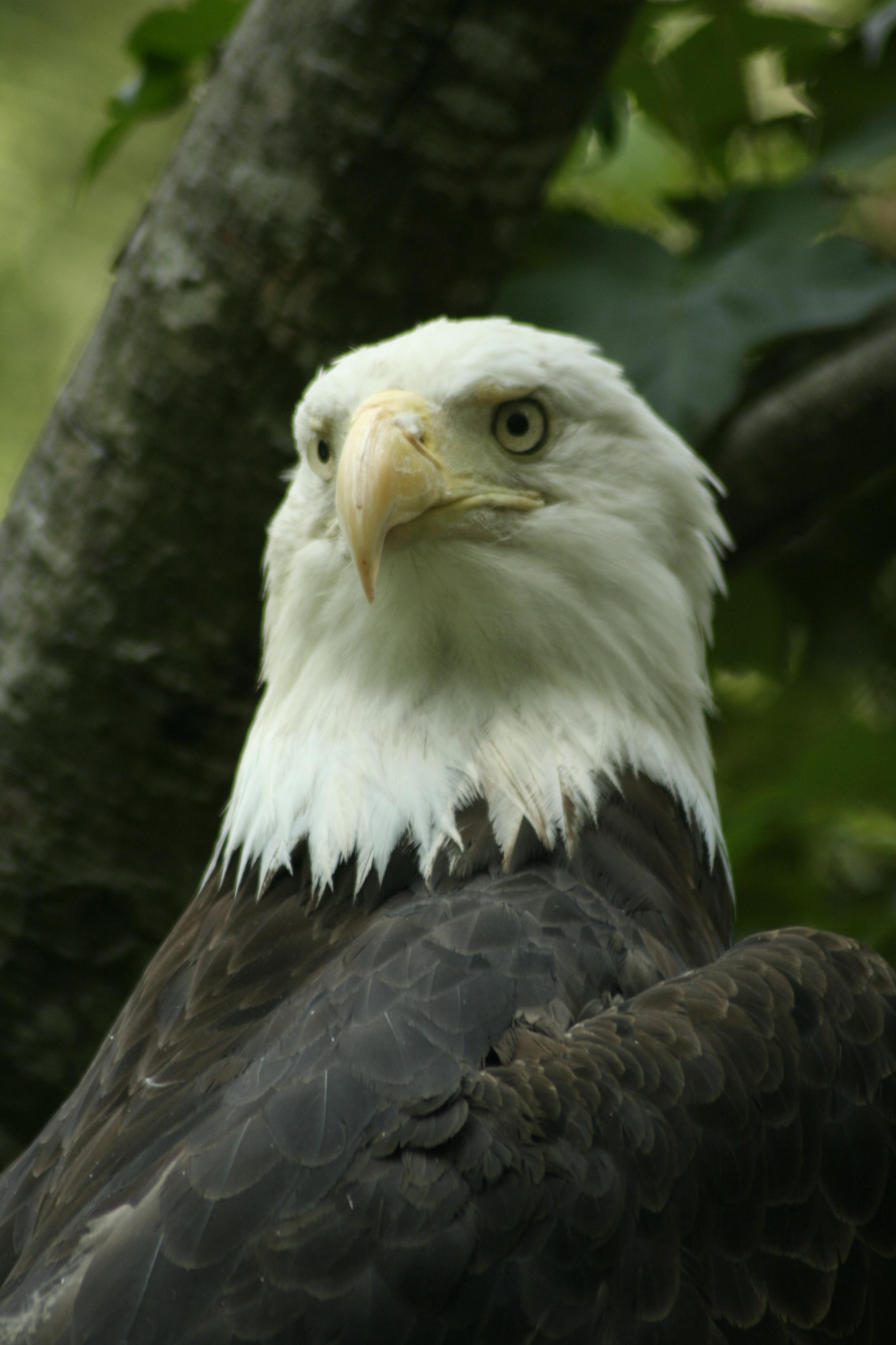 Bald-Eagle1.jpg